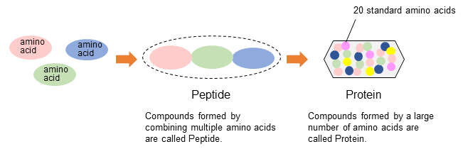 Fig.3 Schematic diagram of amino acids, peptides, proteins