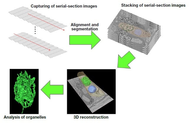 Procedure for 3D reconstruction of serial-section images.