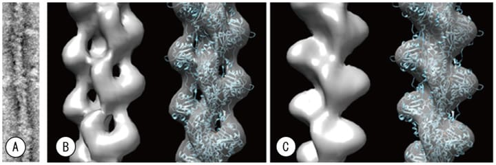 Fig. 8 Comparison of cryo-EM developed here vs. standard TEM. From negative-stained images (A) we performed threedimensional reconstruction via single-particle analysis, taking into account the helical symmetry. (B) 30 kV STEM image captured with new cryo-EM described herein, and (C) 100 kV image captured with a standard TEM. Upon fitting to an atomic coordinate model (Oda et al., 2009), the three-dimensional image reconstructed from the 100 kV standard TEM image exhibited some regions of disagreement, while the three-dimensional image reconstructed from the STEM images obtained with our new system exhibit excellent agreement.