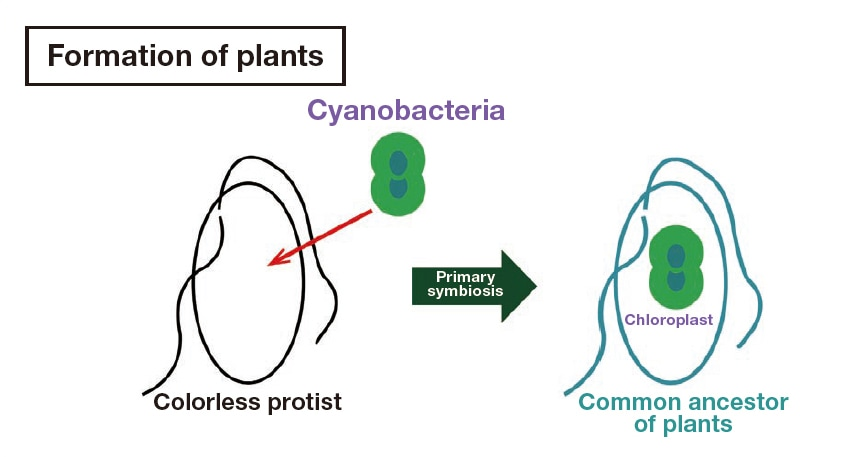 Fig. 2 Schematic diagram of the formation of plants through endosymbiosis. Between 1 and 2 billion years ago, protists that were not capable of photosynthesis incorporated photosynthetic cyanobacteria and thus became the first plant cells with chloroplasts. From reference 1).