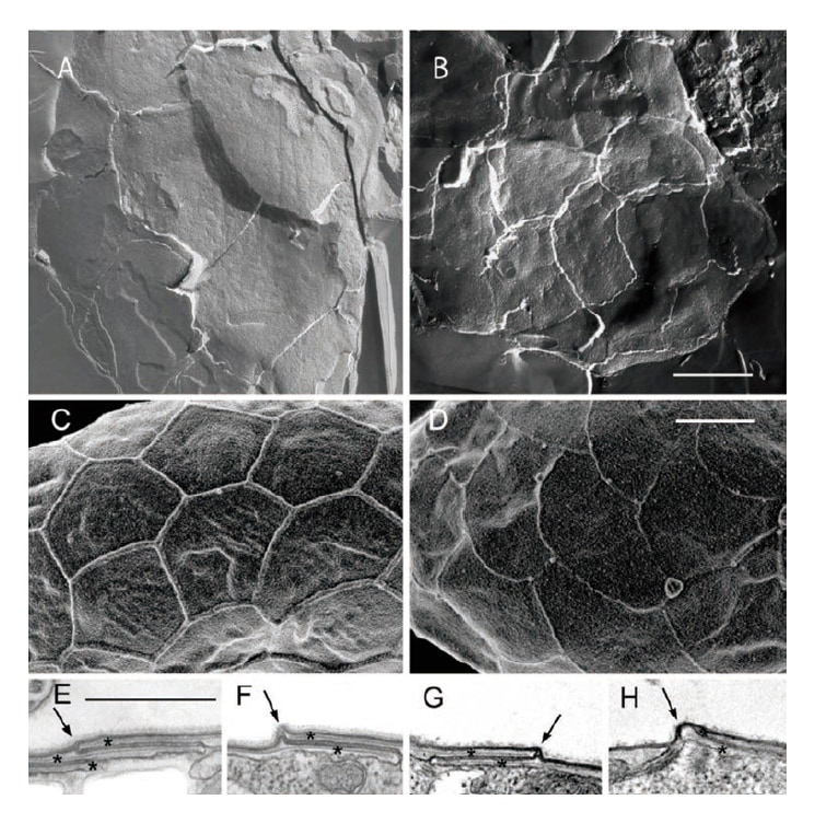 Fig. 5 Images by freeze fracture transmission electron microscopy (TEM) (A, B), field emission scanning electron microscope (FE-SEM) (C, D), and ultra-thin section TEM (E-H). The pattern covering the whole of the cell surface is bordered by ridges, which are formed by upward bending at the boundary between plate vesicles such that the pattern reflects the morphology of the internal plates. Bar = 1 μm. (A, C, E, F) New species Cyanophora sudae. (B, D, G, H) C. biloba. Reprinted with permission of John Wiley and Sons (License Number: 3790920895102) from Reference 3).